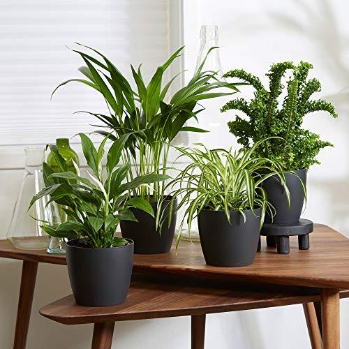 4er Set Luftreinigende Zimmerpflanzen   Vier...