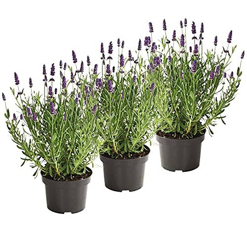UNUS Garden Echter Lavendel Pflanze Lavandula...